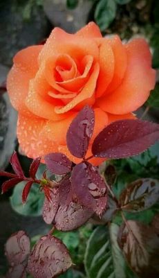 Terrific Pics Exotic Flowers beautiful Popular Nearby plants in addition to plants and flowers is usually a fantastic addition to every company and also fam Beautiful Rose Flowers, Pretty Roses, Exotic Flowers, Orange Flowers, Amazing Flowers, Beautiful Flowers, Flowers Pics, Orange Rosen, Rosa Rose