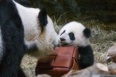 https://flic.kr/p/JvusWj | Giant Panda Cubs | Toronto Zoo-20 | Canada's first…