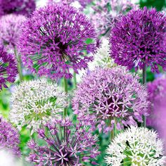 Allium Bulbs - White & Purple Mix - Suttons Seeds and Plants