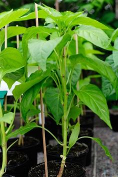 Why Your Pepper Plants Aren't Producing and What to Do About It