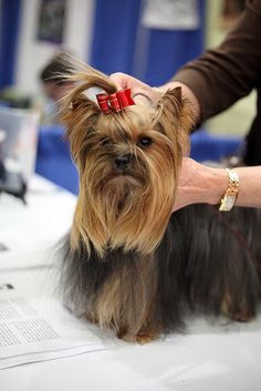"""""""Fussing is better with cookies!"""" #dogs #pets #YorkshireTerriers Facebook.com/sodoggonefunny"""