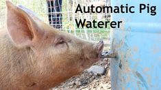 Automatic Pig waterer How we built this self waterer using a 55 gallon drum and a water nipple. Hog Waterer, Pig Fence, Pig Shelter, Pig Farming, Backyard Farming, Pet Pigs, Baby Pigs, Pot Belly Pigs, Teacup Pigs