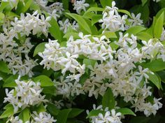 Evergreen Star Jasmine Climber Plants For Sale at Best Prices. Next Day Delivery on Star Jasmine Plants. Jasmine Star, Jasmine Vine, Evergreen Climbing, Best Smelling Flowers, Trachelospermum Jasminoides, Climber Plants, Garden Soil, Garden Art, Flower Beds