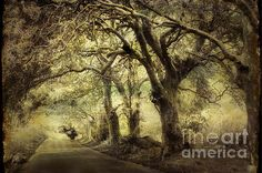 Gothic Road by Jenny Rainbow. #Gothic #FineArtPrints #Trees #OldTrees #Mauritius #Road #Journey #JennyRainbowFineArtPhotography