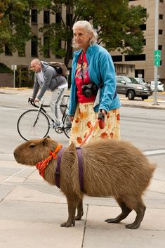 Just walking my pet capybara. ---The capybara is a large rodent of the genus Hydrochoerus of which the only other member is the lesser capybara. The capybara is the largest rodent in the world. Bizarre Animals, Animals And Pets, Funny Animals, Cute Animals, Animal Pictures, Funny Pictures, Random Pictures, Funny Pics, Capybara