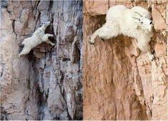 Rock Climbing Mountain Goats