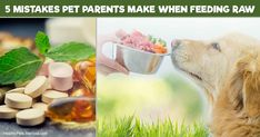 A recent article at a mainstream pet health website discusses mistakes dog parents often make when feeding a raw diet. http://healthypets.mercola.com/sites/healthypets/archive/2017/10/09/5-mistakes-dog-parents-often-make.aspx