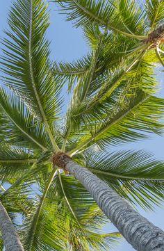 palm tree grove in Honolulu