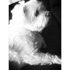 """My maltezer - maltese girl """"Kiki"""" in black & white.."""