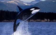An orca whale. Many orcas are kept in captivity for entertainment purposes. Forcing a large whale to live in a tank is the equivalent of making a human spend his life in a bathtub. They belong in the ocean, not in concrete tanks. Animals Beautiful, Cute Animals, Beautiful Creatures, Fauna Marina, Cat Dog, Ocean Creatures, Mundo Animal, Animal Wallpaper, Hd Wallpaper