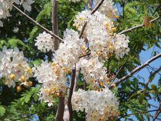 คูนขาว ปีแรกๆช่อจะสั้น และดอกน้อย     แต่เมื่อปลูกไปหลายปีดอกจะดก และช่อยาวขึ้นค่ะ ถ้าจะให้ดอกดกต้องงดน้ำก่อนออกดอกหลายๆเดือน ตลาดธัญศิริ เจอต้นคูนขาวขายเยอะมากๆ