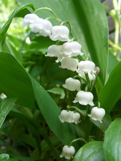lelietjes van dalen  Lily of the Valley likes shade and when  mixed with Hosta is very pretty..