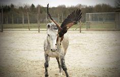 https://flic.kr/p/HRmvRK | Horse and Harris's hawk #hawk #birdofprey #horse #bird #buse #Harris #cheval
