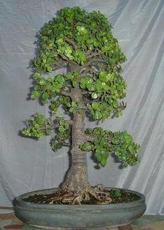 Pinching my bonsai pinterest jade bonsai y plantas - Planta de jade cuidados ...