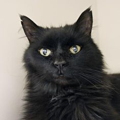 My name is Cirrus and I was found on West Ridge Road in Rochester. No one has called to claim me... why not?? I'm a friendly, long haired beauty that likes to be held, petted and sit on your lap. I even like small gentle children to pet me! I meow to get people's attention because I really want to be adopted and loved full time again. Because of my age (I'm 9), I can be adopted for no fee by individuals age 60 or older through our Seniors-for-Seniors program.