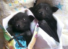 snuggly bats in blankeys. who knew they were so cute?  i'd smooch these little batses