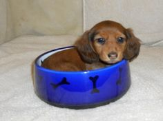 this my bowl #doxie #cute #dachshund