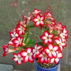 Love the Bonsai - Adenium Desert ROSE