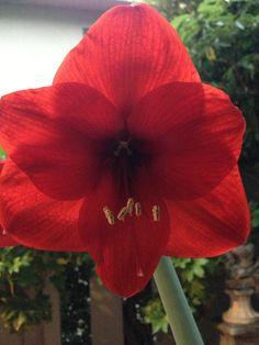 Spring blooming amaryllis