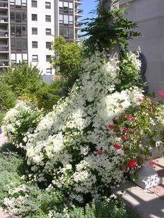 Roof deck, fine gardening, maintenance, sweet autumn clematis, urban, garden, landscape, design