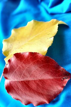 The three primary colors: red, yellow and blue on beautiful leaves