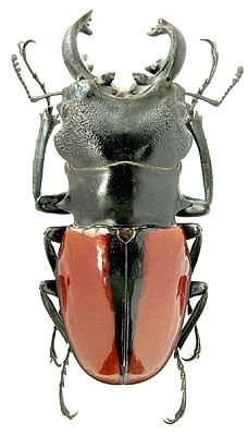 Odontolabis ludekingi Vollenhoven, 1861 (Lucanidae) Indonesia, Sumatra I.