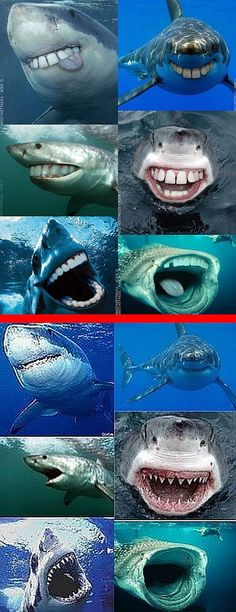 Fake - Sharks with Human Teeth - The top set(6 images) are fake. The bottom set(6 images) are the original images.