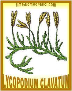 Lycopodium-clavatum