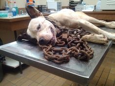 Years at the end of this oversized chain...the vets chose to euth. this nameless dog because he had suffered years of a hell we can never know. R.I.P. beautiful boy. Alabama has no laws in place to punish those who abuse animals.