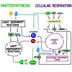 Interactions between Photosynthesis and Cellular Respiration! Note how the reagents and products of each reaction are linked to the other! Check out the tutorial for more.