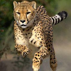 Cheetah Run 3:30 everyday at Safari Park.