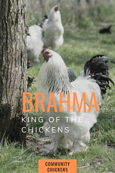 The Brahma chicken. Fancy Chickens, Types Of Chickens, Chickens Backyard, Bantam Chickens, Pet Chickens, Raising Chickens, Livestock Farming, Poultry Farming, Chicken Cages