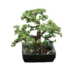 Jade Plant Bonsai Ficus Banyan Tree Crula And Malphigia Online In India Huge Range Of Plants For