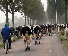 """Koeien """"verslaan""""  geloof ik dat we het noemden . als ze van ene weiland naar het andere gebracht moesten worden"""