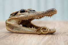 How many people have wedding photos with a crocodile? Something a little different for the ring shot Ring Shots, Photography Portfolio, Crocodile, Wedding Photos, Wedding Photography, Rings, People, Marriage Pictures, Crocodiles