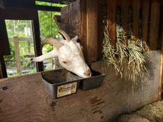 A homemade goat electrolyte helps to replenish lost liquid when scours in goats occur. This natural goat electrolyte is ideal as a goat diarrhea treatment. Raising Rabbits, Raising Goats, Fermented Honey, Keeping Goats, Gallon Mason Jars, Natural Electrolytes, Goat Care, Homemade Apple Cider, Sources Of Fiber