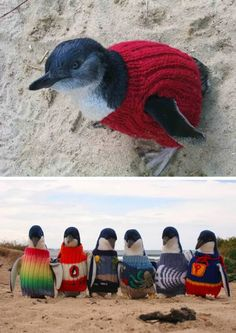 Penguins in Sweaters- Sweaters were needed for penguins after an oil spill ( by humans #**%#**) to keep them from preening and getting the toxins from the oil in their tummies.  The sweaters came in from all over the world!! (again humans - hoo-ray for being humane!) They are amazing to see (penguins!!) in their sweaters.