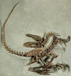 Gorgosaurus  From the Cretaceous in Alberta