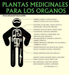 PLANTAS MEDICINALES PARA LOS ORGANOS