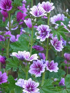 ~~Zebra Mallow   Malva sylvestris 'Zebrina' An old Cottage-garden favorite, this cousin to the Hollyhock has similar satiny flowers in a soft lavender-purple shade, exotically striped with deep maroon veins