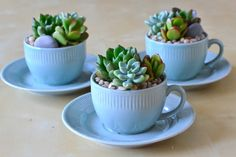 We found these cute little teacups & saucers with an Asian motif on them and felt they were perfect for a little succulent. Description from republicofsucculents.com. I searched for this on bing.com/images