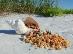 """Candy Cornucopia""  Sanibel  Love those small Horse Conchs !!!"