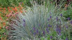 Penstemon, Blue Oat Grass, a touch of Sedum and this bed is done! May Night Salvia, Blue Oat Grass, Landscape Design, Garden Design, Geranium Rozanne, Alchemilla Mollis, Orange Carpet, Fine Gardening, Garden Photos