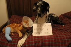 i sat on my brother and broke him. I found this on a Dog Shame website.  Great Danes LOVE their feline brothers.....