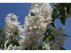 Deutzia Scabra, 30/40 cm P9 : acheter en ligne sur Jardins Du Monde. Pépinière, jardinerie en ligne. Livraison partout en Europe