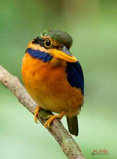 Rufous-collared Kingfisher- Male