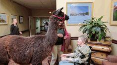 Watch A Pair Of Llamas Bring Utter Joy To Nursing Home Residents
