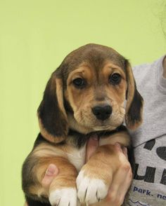 Marcie is an adoptable Basset Hound searching for a forever family near New Rochelle, NY. Use Petfinder to find adoptable pets in your area.