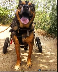 King is king of the woods! Happy #tongueouttuesday all!   #handicappedpets #walkinwheels