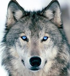 I just learned that adult wolves don't have blue eyes, but this Photoshopped picture looks pretty good.